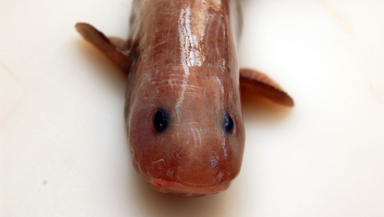 Species of eelpout fish discovered by University of Aberdeen scientists at depths of 4250m near New Zealand