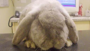 Marius, rabbit abandoned in Moray.