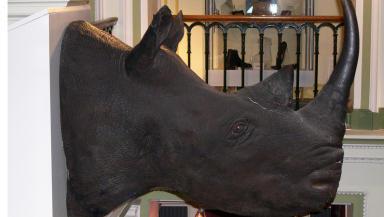 Rhino head Elgin Museum