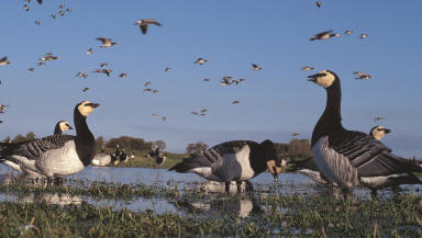 SWNS picture of Barnacle Geese