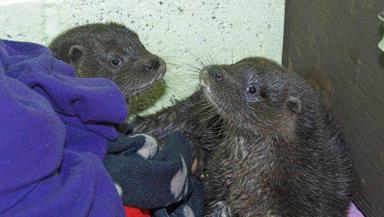 Thurso and Surf, otter cubs found on Thurso beach.