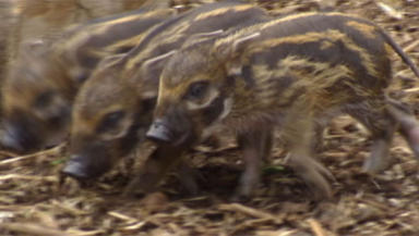 Culled: Two young red river hog pigs have been culled.