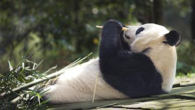 Tian Tian: No cubs at zoo this year (file pic).
