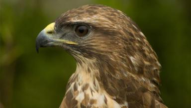 Common Buzzard wildlife bird head close from Wikipedia creative commons