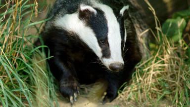 Badger. Creative Commons, Flickr (http://goo.gl/19vzM0)