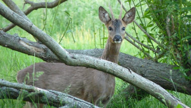 Countryside: Roe deer can often be spotted in the Lanarkshire countryside