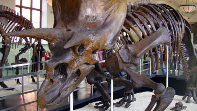 Dinosaur triceratops fossil skeleton at American Museum of Natural History Creative Comons image from Wikipedia uploaded November 11 2014