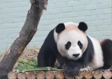 Getting Inside the Panda's Genes