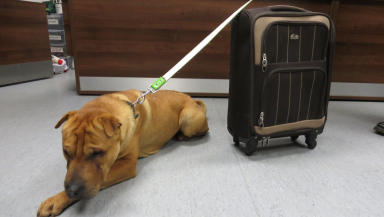 Abandoned dog Kai who was left at Ayr station with suitcase quality news pic from Scottish SPCA uploaded January 6 2015