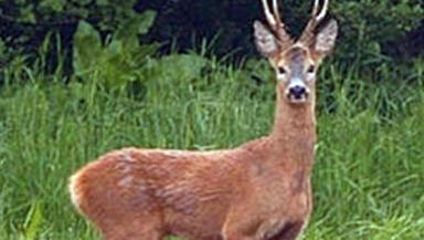 Deer: The animal was left with fatal injuries in the attack.