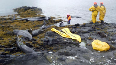 Whales stranded on Staffin Island near Skye on June 2 2015. Uploaded June 2 2015. Free to use with credit.
