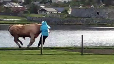 Screengrab of bull charging woman in Lerwick in Shetland on June 2 2015. Video paid for by STV broadcast. Uploaded June 3 2015
