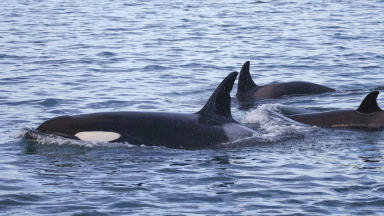 Orcas: Possibly as few as eight remain in western waters.