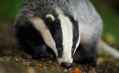 Badger generic / stock. Uploaded from PA November 4 2015. High quality.