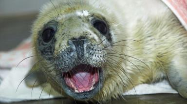 Rogue the seal, rescued from Fraserburgh beach by the Scottish SPCA