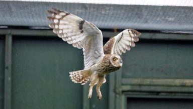 Wild return: Owl which was found on North Sea platform.