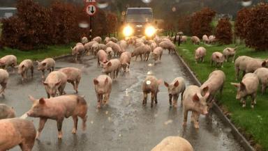 Pig escape: Tractor overturns in Aberdeenshire.