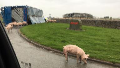 PIgs block the road on the  A920 Ellon to Pitmedden road in Aberdeenshire quality news image uploaded November 23 2015