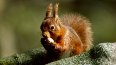 Red squirrels: Making a comeback in Perthshire.