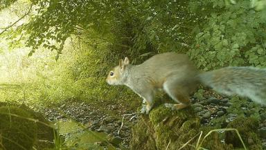 Battleground: This grey squirrel was spotted in Angus.
