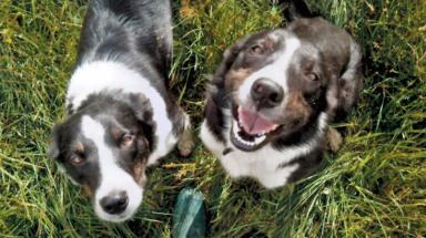Sheep dogs: Collies were taken but found unharmed.
