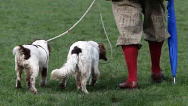 Working spaniels: Change in law could allow tails to be docked.
