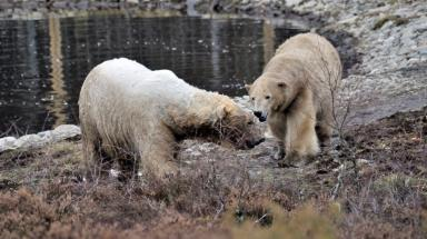 Bonding: Polar bears at Highland Wildlife Park.