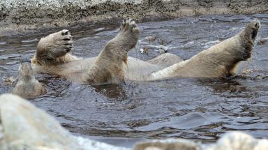 Arktos: Polar bear bathing at the Highland Wildlife Park.