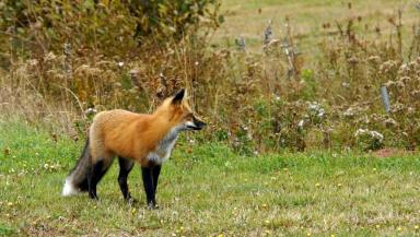 Change: Scotland's fox hunting laws were amended in 2002.