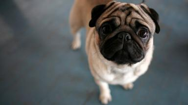 Pugs: The event is to held in West Lothian.