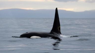 Whales travel to Scotland every year.