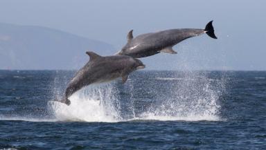 Dancing dolphins: Karen van der Zijden captures stunning moment from Chanonry Point.