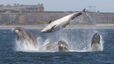 Magic moment: Four bottlenose dolphins put on a show in the Moray Firth.