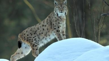 Killed: The Lynx was shot dead against park wishes.