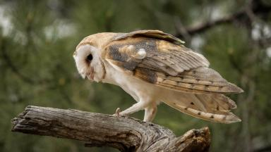 Raid: Barn owl heads found.