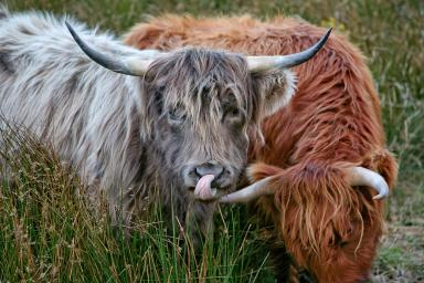Highland Cow: These beautiful Scot's animals call Arran its home.