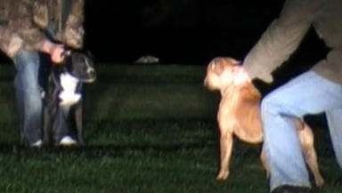 Evidence: Brothers filmed encouraging the animals to fight.