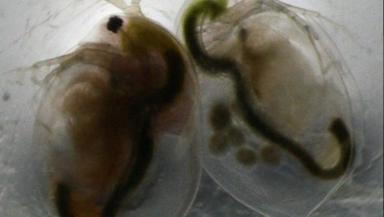 Water fleas: Scientists used the tiny creatures for their research.