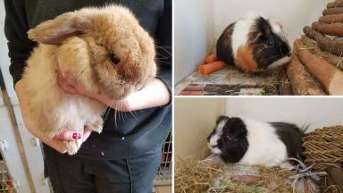 Abandoned: Three animals are in the care of the Scottish SPCA.
