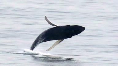 Humpback whale: Large mammal caught on camera in the Forth.
