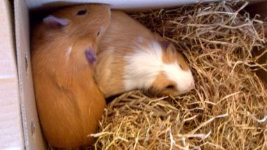 Abandoned: Guinea pigs named Fred and George.