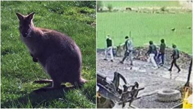 Hunt: Youth terrorise baby wallaby at Dalscone Farm Fun.