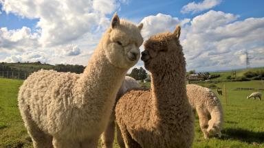 Cuddle crew: Scottish Alpaca Championship takes place in April.
