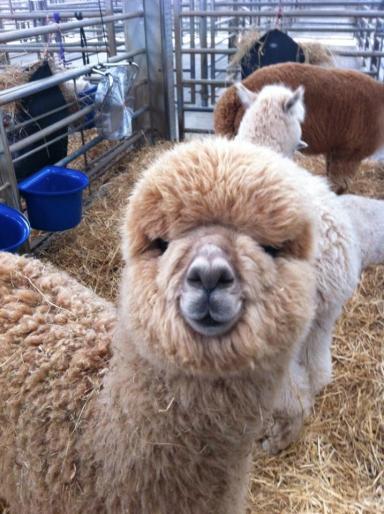 Bob's alpaca adventure began two years ago.