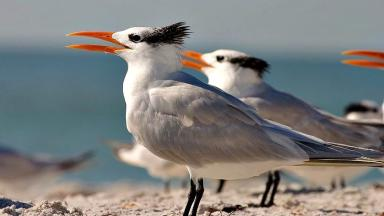 Tern: American species slightly larger than African cousin (file pic).