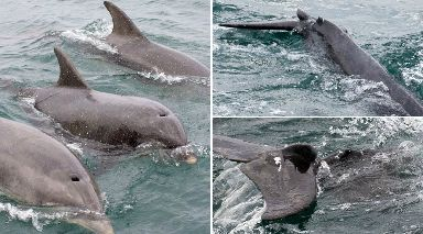 Healed: Dolphin was struck by propeller.
