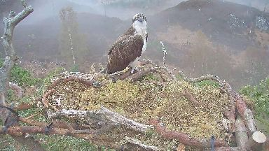 Lonesome Louis: Highland osprey waits for his mate.