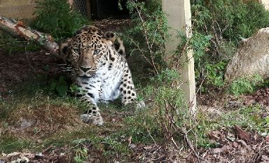 Rare: There are thought to be less than 60 Amur leopards in the wild