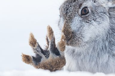 Winter white: The mountain hares are Britain's only Arctic animal.