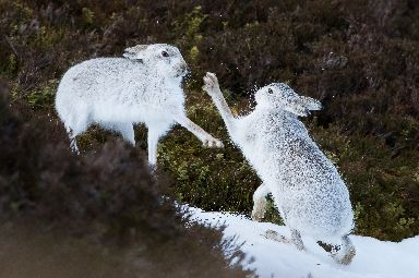 Andy captures female hares fighting in the Highlands.